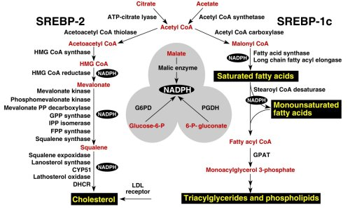 major metabolic intermediates in the pathways for synthesis of cholesterol, fatty acids, and triglycerides JCI0215593.f2