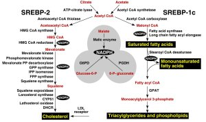 major metabolic intermediates in the pathways for synthesis of cholesterol, fatty acids, and triglycerides