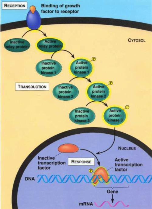 membrane protein receptor binds with hormone