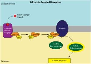 membrane_receptor_g protein