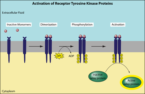 activation of receptor Tyrosine Kinase
