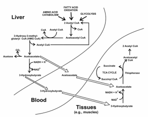 metabolism of ketone bodies