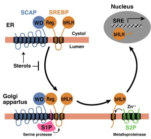 Model for the sterol-mediated proteolytic release of SREBPs from membrane