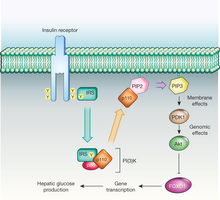 insulin-receptor-and-and-insulin-receptor-signaling-pathway-irs