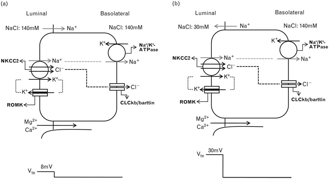 transepithelial-electrogenic-ion-transport