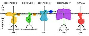 OX-Phos steps