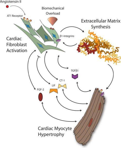 Paracrine bidirectional cardiac fibroblast-myocyte crosstalk