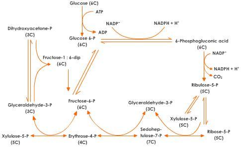 pentose-phosphate-pathway