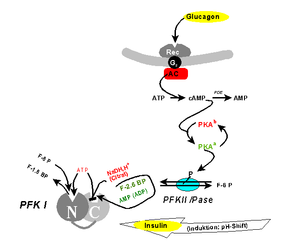 Phosphofructokinase mechanism