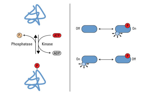 Phosphorylation Dephosphorylation