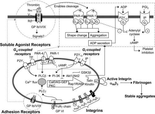 Platelet signaling pathways