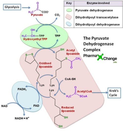 pyruvate_dehydrogenase_complex_new2