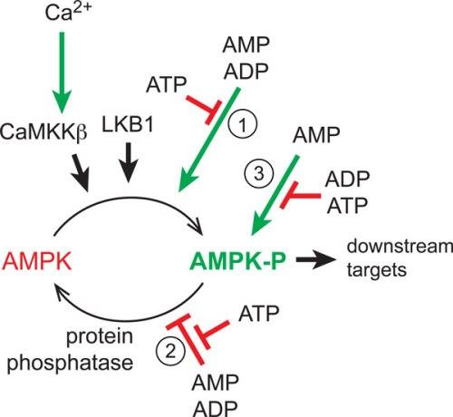 Regulation of AMPK