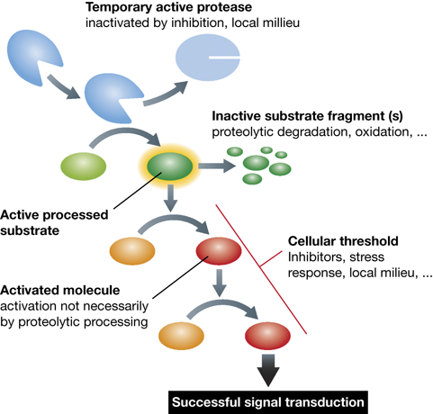 signal-transduction-in-protease-signaling-