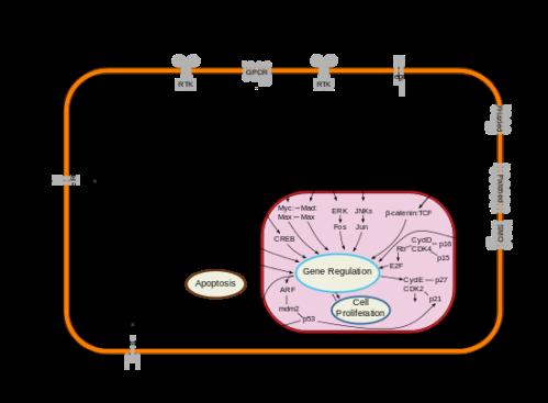 Signal_transduction_pathways.svg