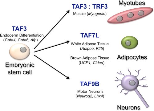 TATA-binding protein associated factors