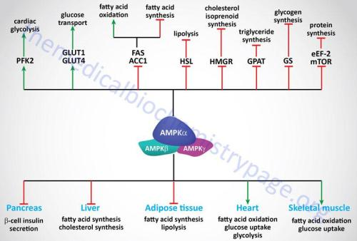 central role of AMPK in the regulation of metabolism
