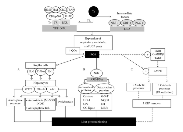 genomic signaling in T3 calorigenesis and ROS production 475675.fig.003