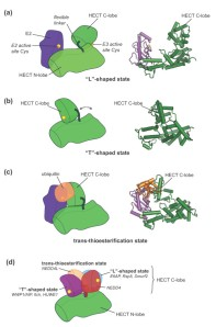 Swinging domains in HECT E3 enzymes