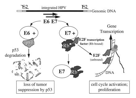 papillomavirus retriever papillomavirus