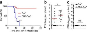 AP4 is essential for host protection against infection with WNV, in a CD8+ T cell–intrinsic manner.