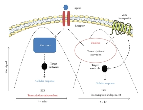 Early zinc signaling (EZS) and late zinc signaling (LZS)