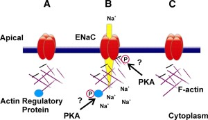 epithelial ion channels