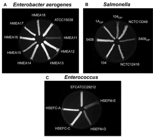 EtBr-agar cartwheel method applied to different bacterial species