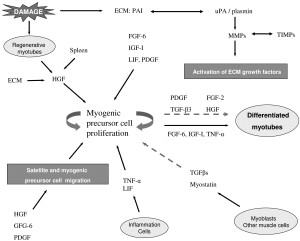 The role of secreted factors and extracellular matrix