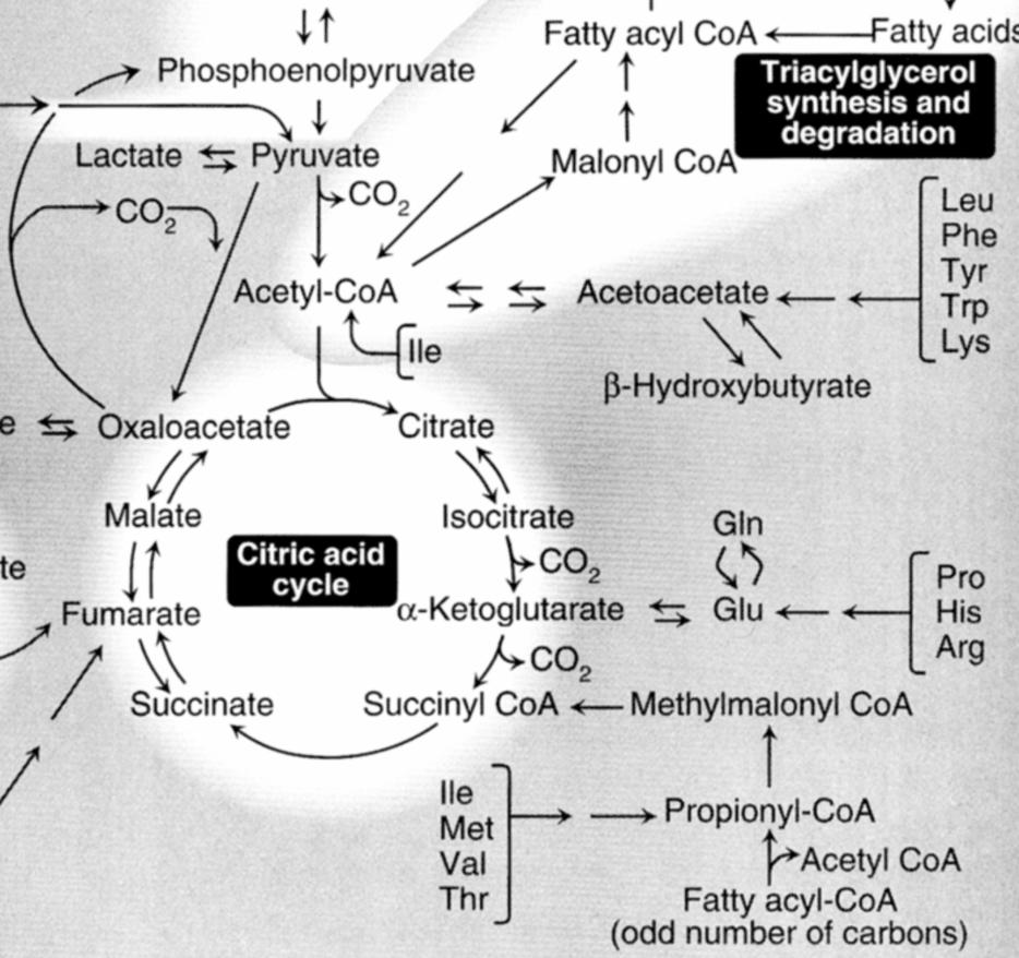 relationship between lipogenesis and citric acid cycle intermediates