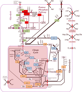 Modelling of Central Metabolism network3