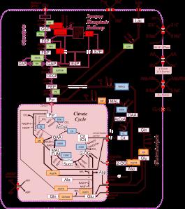 Modelling of Central Metabolism network3