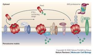 peroxisomal matrix protein