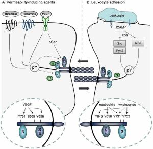 Regulation of the integrity of endothelial cell–cell contacts by phosphorylation of VE-cadherin