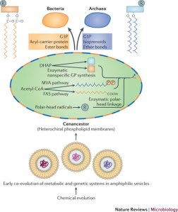 early evolution of lipid membranes and the three domains of life