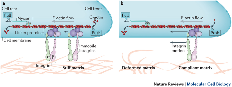 Site Nature Com Adhesion Receptors Extracellular Matrix
