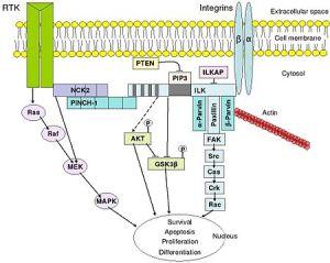 integrin-mediated signal transduction