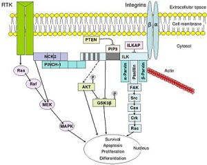 integrin-mediated signal transduction
