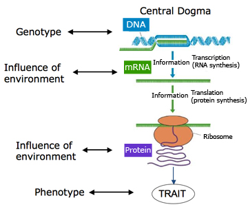 central dogma phenotype