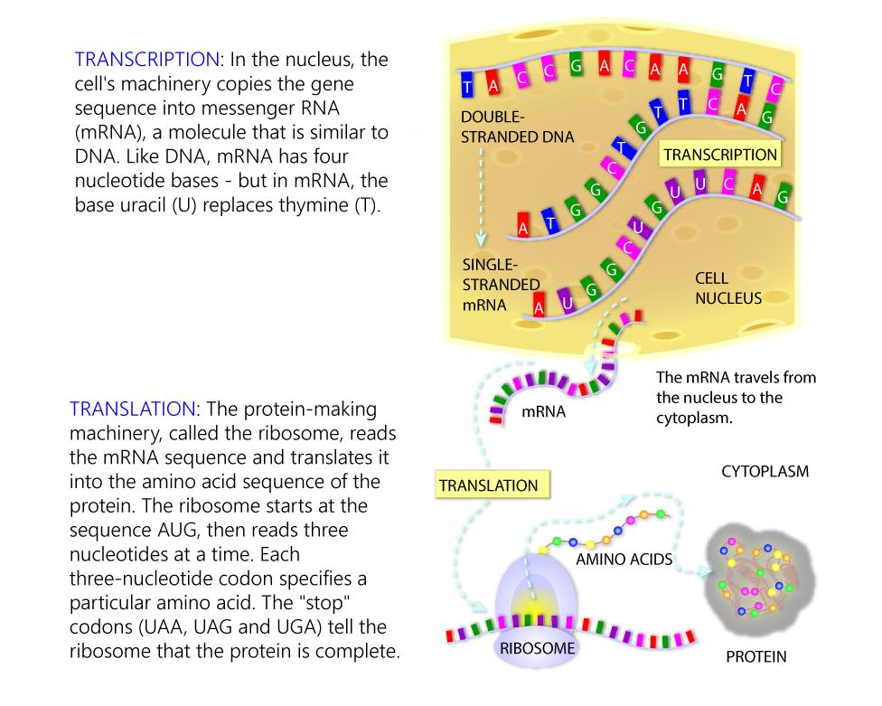 what is protein synthesis Protein synthesis is accomplished through a process called translation in translation, rna and ribosomes work together to produce proteins.