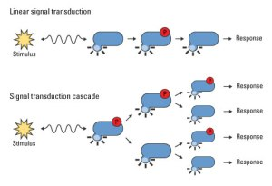 Signal transduction cascades amplify the signal output