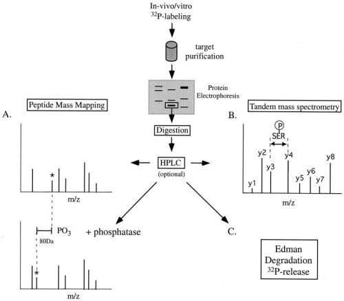 Strategies for determination of phosphorylation sites in proteins