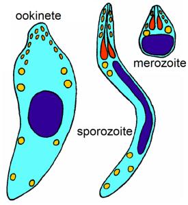 Ookinete,_sporozoite,_merozoite