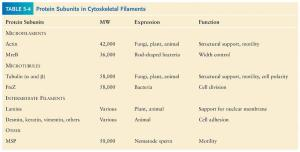 Eukaryotic cells contain three major types of cytoskeletal filaments
