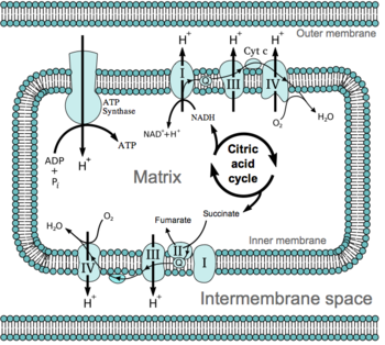 an overview of the process of transport through cell membranes #27 summary of cell membrane  polar molecules through membranes is allowed by transport proteins  shrinks away from the cell wall in a process known.