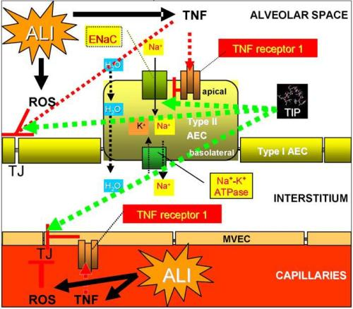 Dichotomous activity of TNF in alveolar liquid clearance and barrier protection