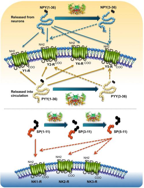 DPP4 cleavage regulates substrate-receptor interactions