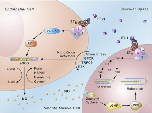 Endothelin signaling – endothelial cells.