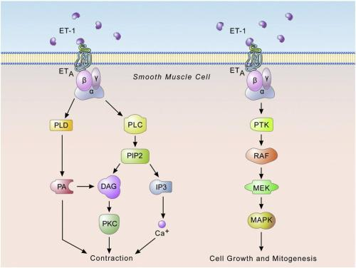 Endothelin signaling – smooth muscle cells