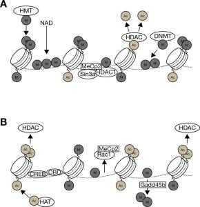 Epigenetic mechanism associated with repression and activation of BDNF exon IV transcription.